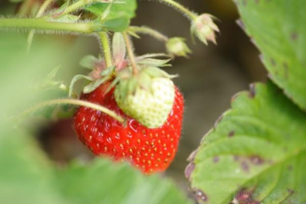 Strawberry Macro