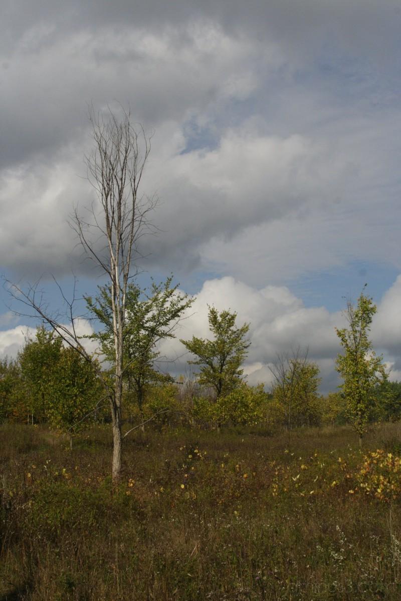 Lone birch in the fields