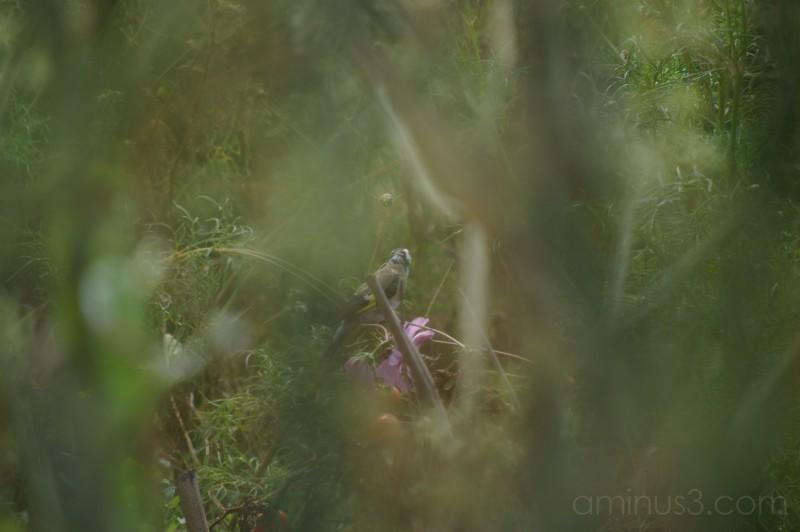 Goldfinch - 1