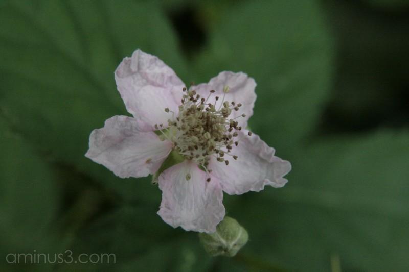 Bramble blackberry blossom