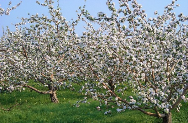 bientôt les pommes