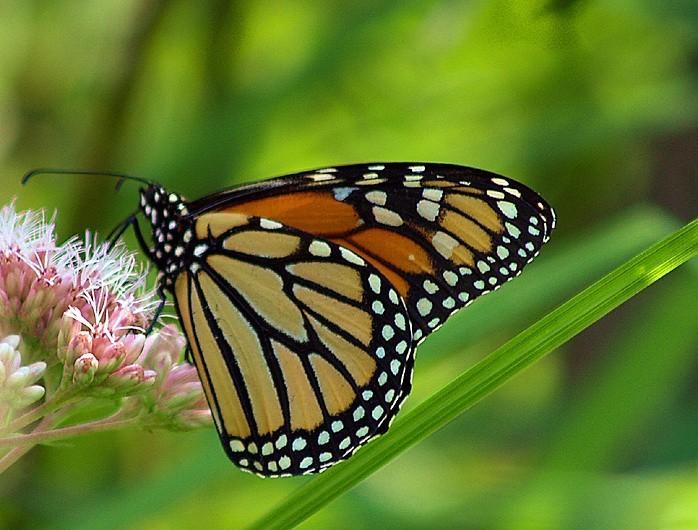 monarque - monarch butterfly