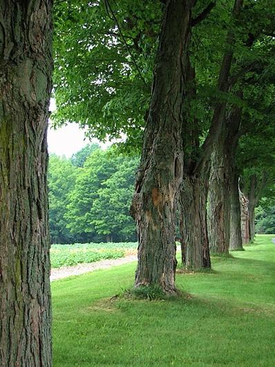 l'allée sous les vieux arbres
