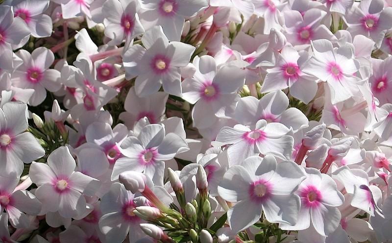 un bouquet de phlox pour  remercier nos visiteurs