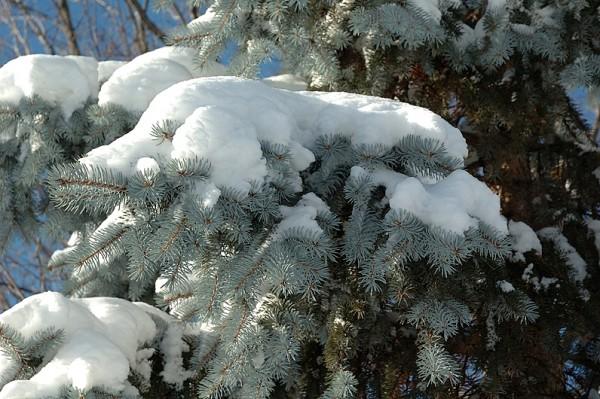 sapin glaçage vanille - vanilla fir