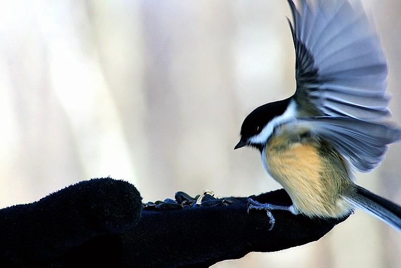 mésange - chickadee