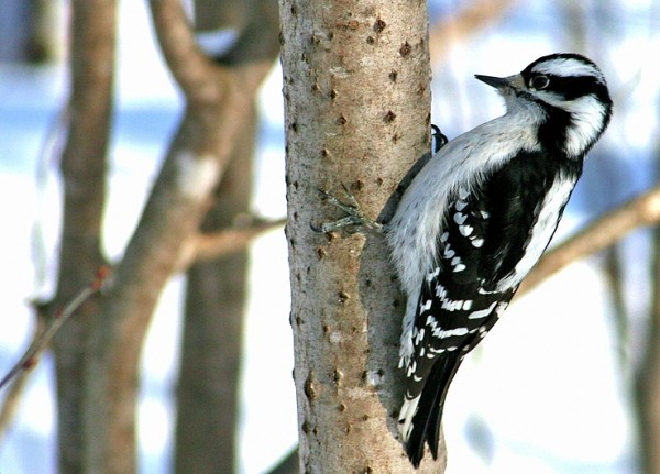 pic-bois - woodpecker