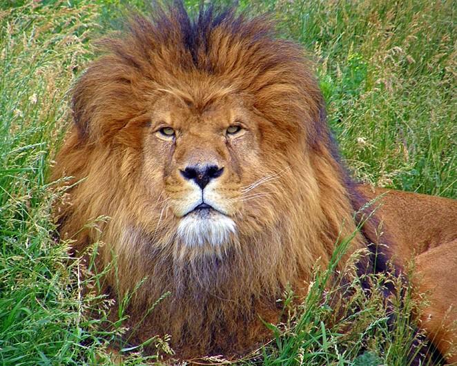 coeur de lion - lion heart