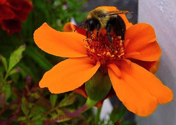bourdon tout endormi - sleepy bumblebee