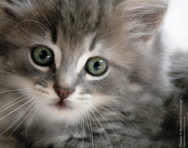 innocence - plus beau chaton - cutest kitten