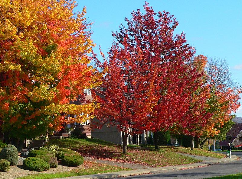érables flamboyants - blazing maples