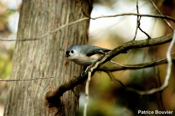 la mésange bicolore - the tufted titmouse