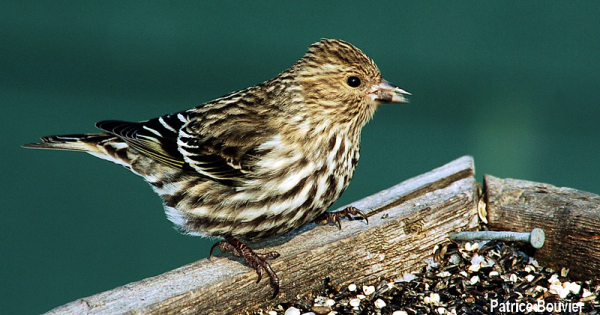 le tarin des pins - the pine siskin