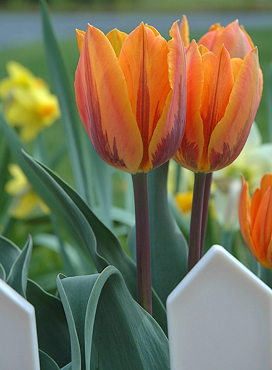 mes tulipes - my tulips