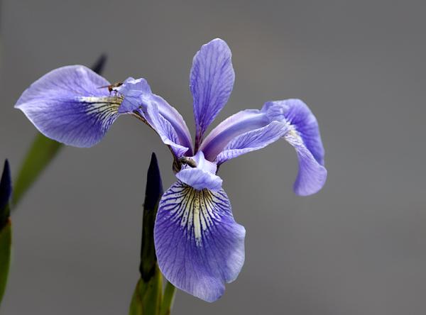 iris versicolore - harlequin blue-flag