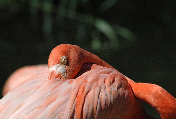 flamant rose - greater flamingo