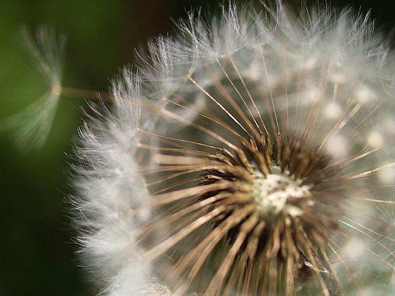 pissenlits II - dandelions II