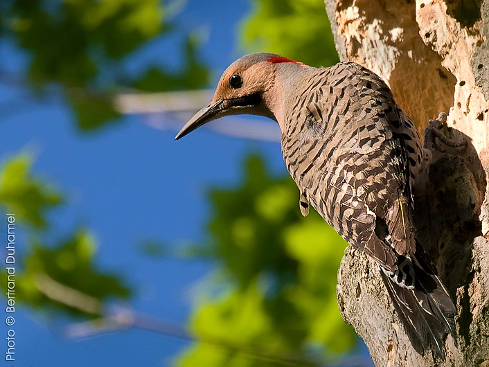 pic flamboyant - northern flicker