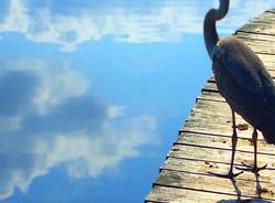 majestueux oiseau   imperial bird