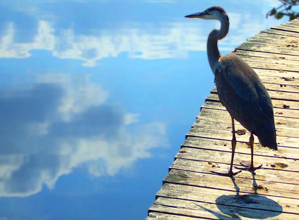 majestueux oiseau - imperial bird