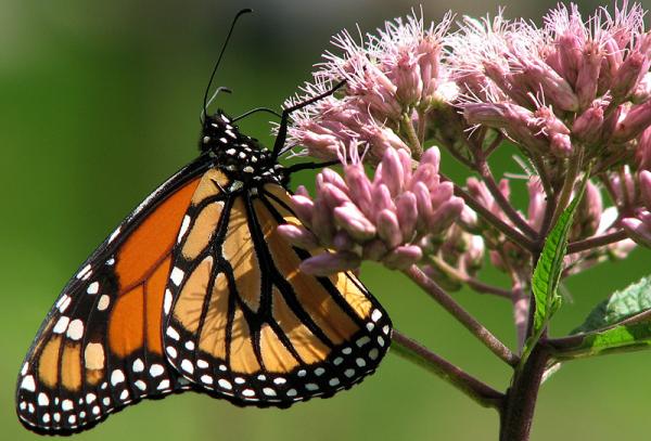 monarque et fleurs sauvages