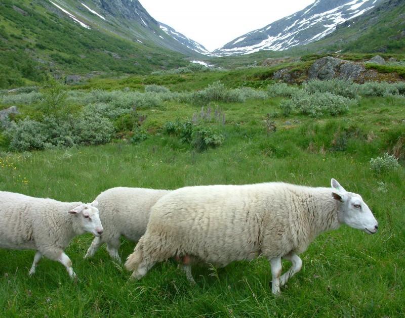 sheep at videsetter norway