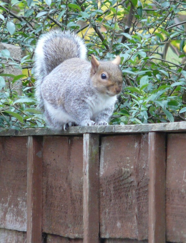 Front view of a Squirrel