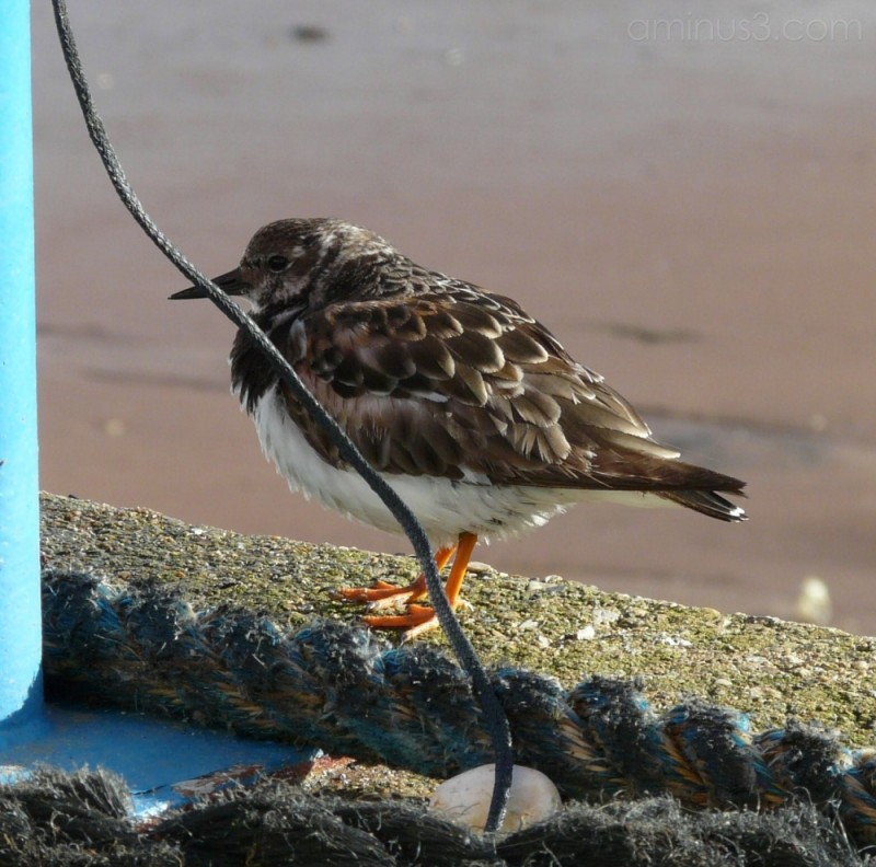 Turnstone at Paignton Harbour