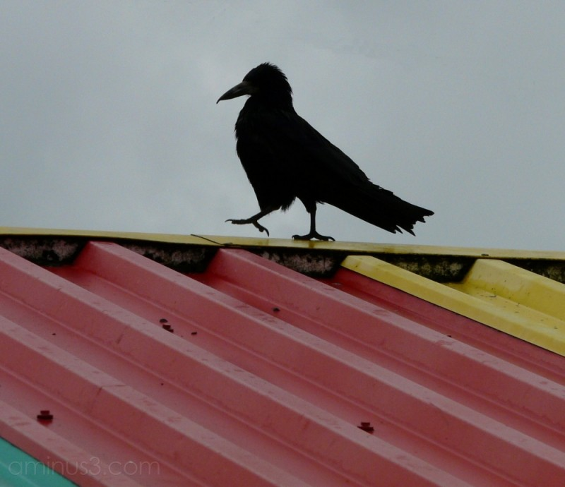 Rook on the to of market stalls in Hyde, Cheshire