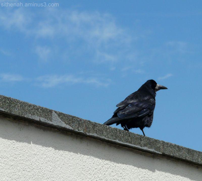 A raven in Llandudno
