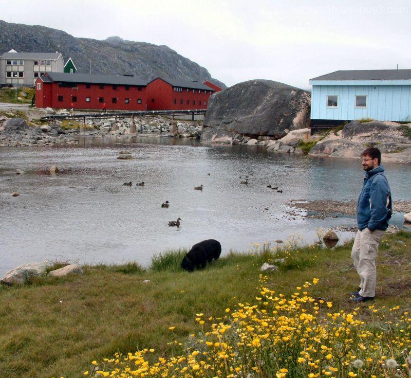 Ducks dog dandelions at qaqortoq