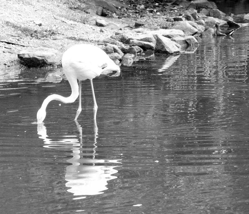 Flamingo at Lion Park Jersey Gold