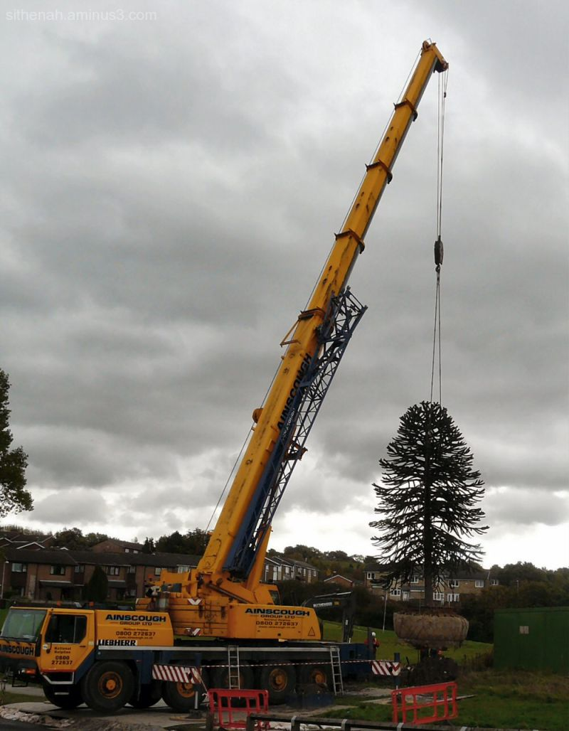 moving the hattersley monkey puzzle tree