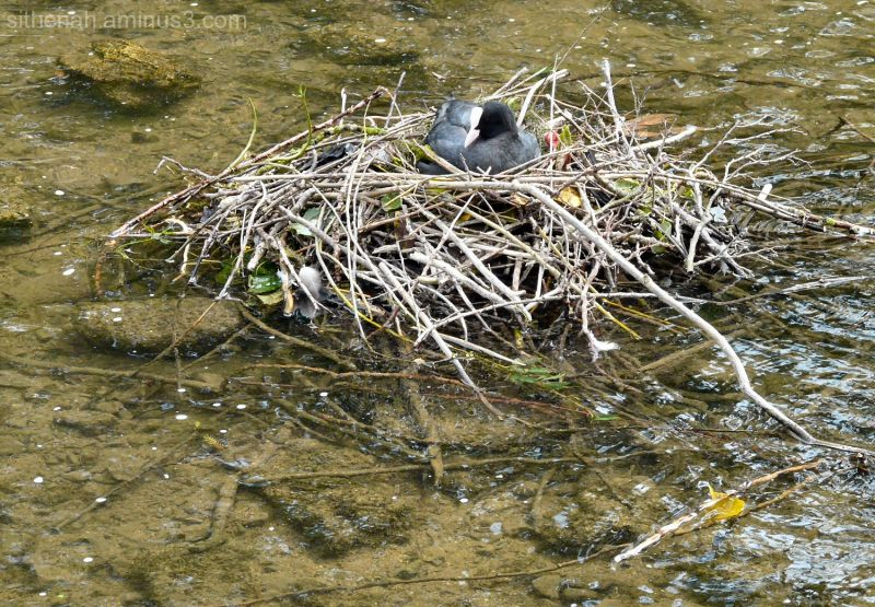 Coot's nest in River Wye at Bakewell