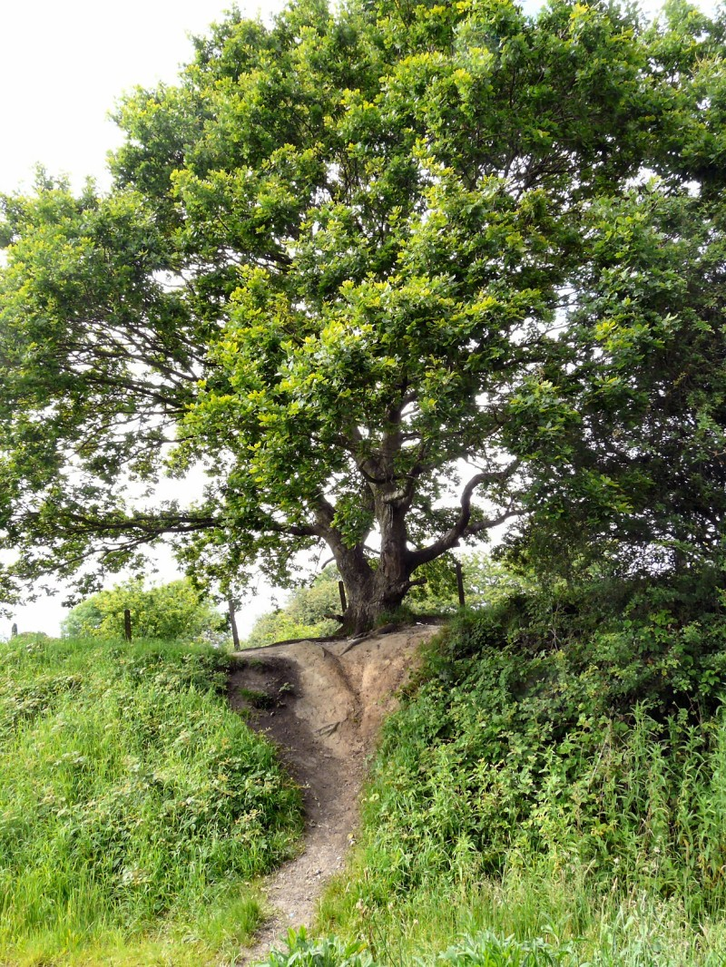 oak tree at foxholes, hyde