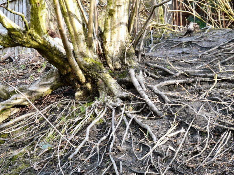 Tree roots by the Trans Pennine Trail