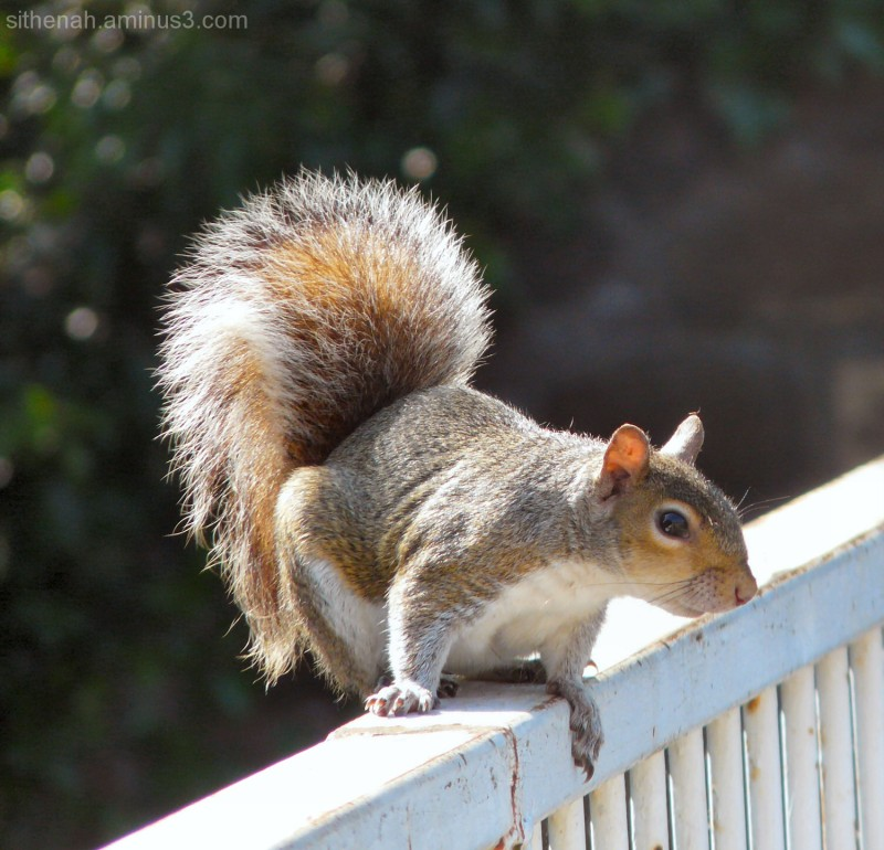Squirrel on a bridge