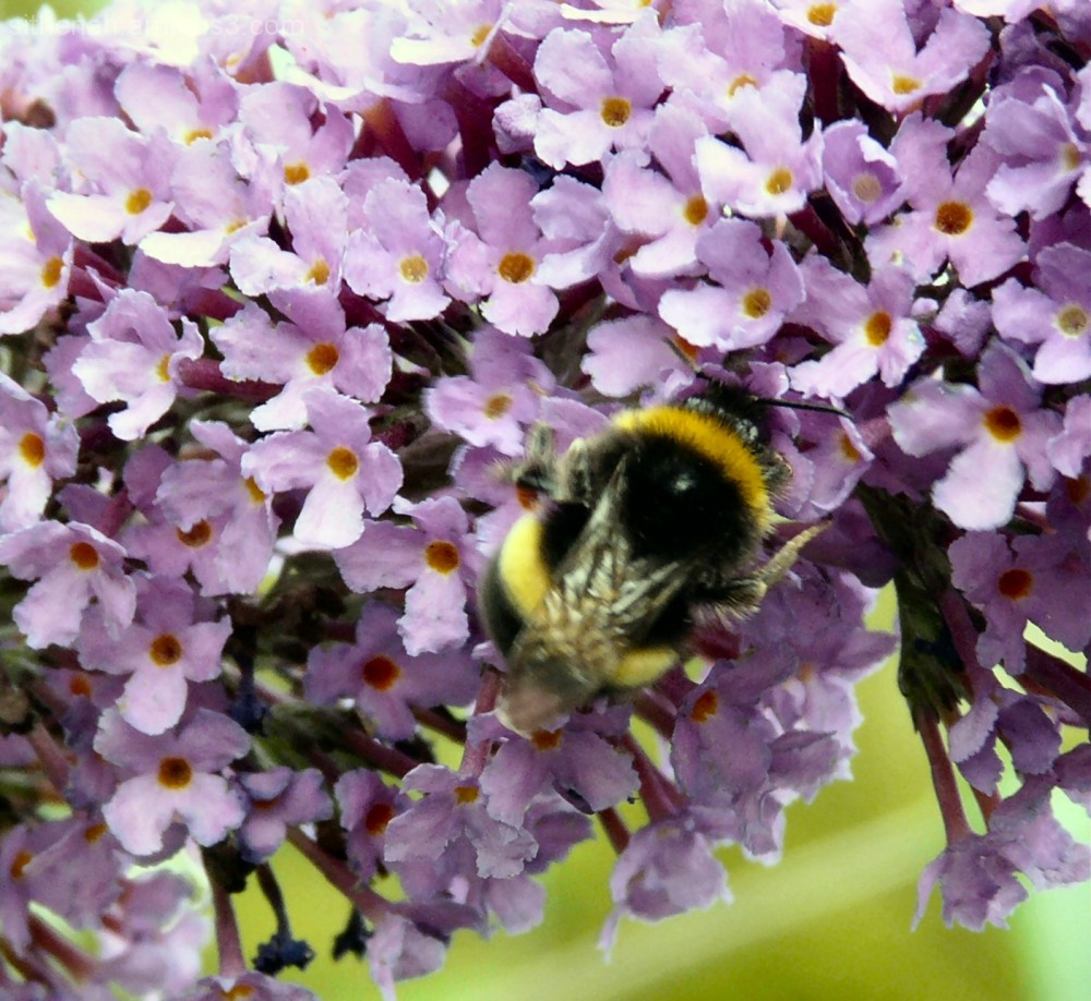bee on buddlia