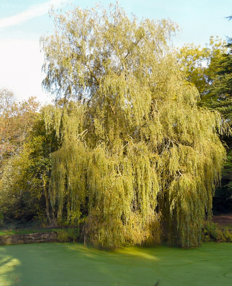 Willow Tree at Pole Bank Hyde Cheshire UK