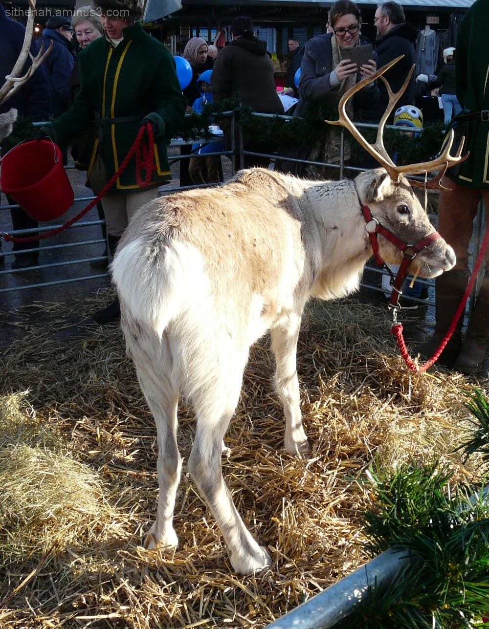 A reindeer on Hyde Civic Square