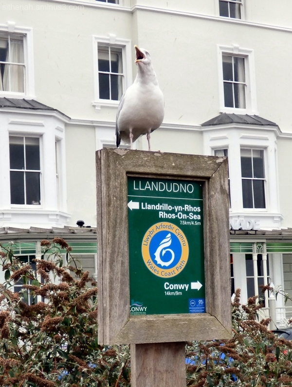 Gull on Wales Coast Path sign at Llandudno