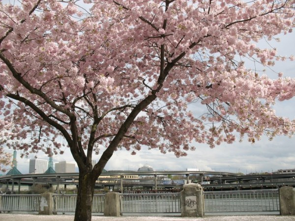 Cherry blossom in downtown Portland
