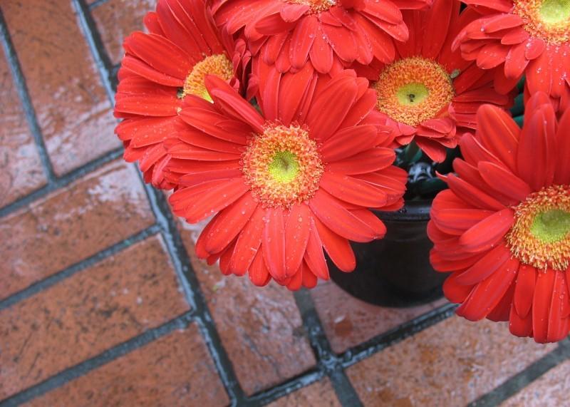 Gerbera daisies for sale on a rainy Valentine's Da