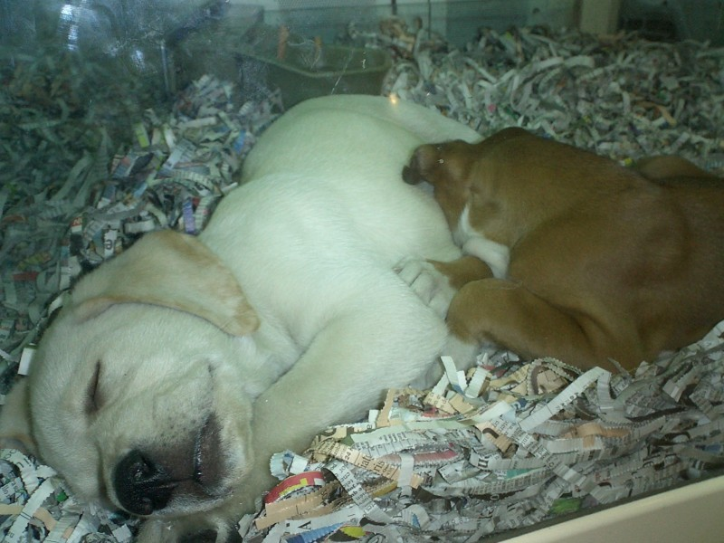 Puppies on sale in a Pet Shop in Barcelona