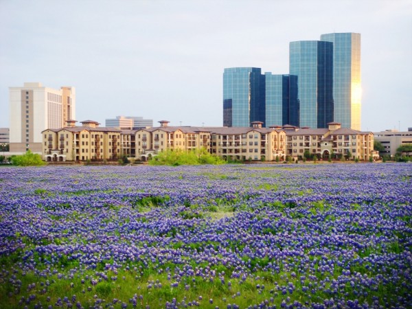 Bluebonnets and the city