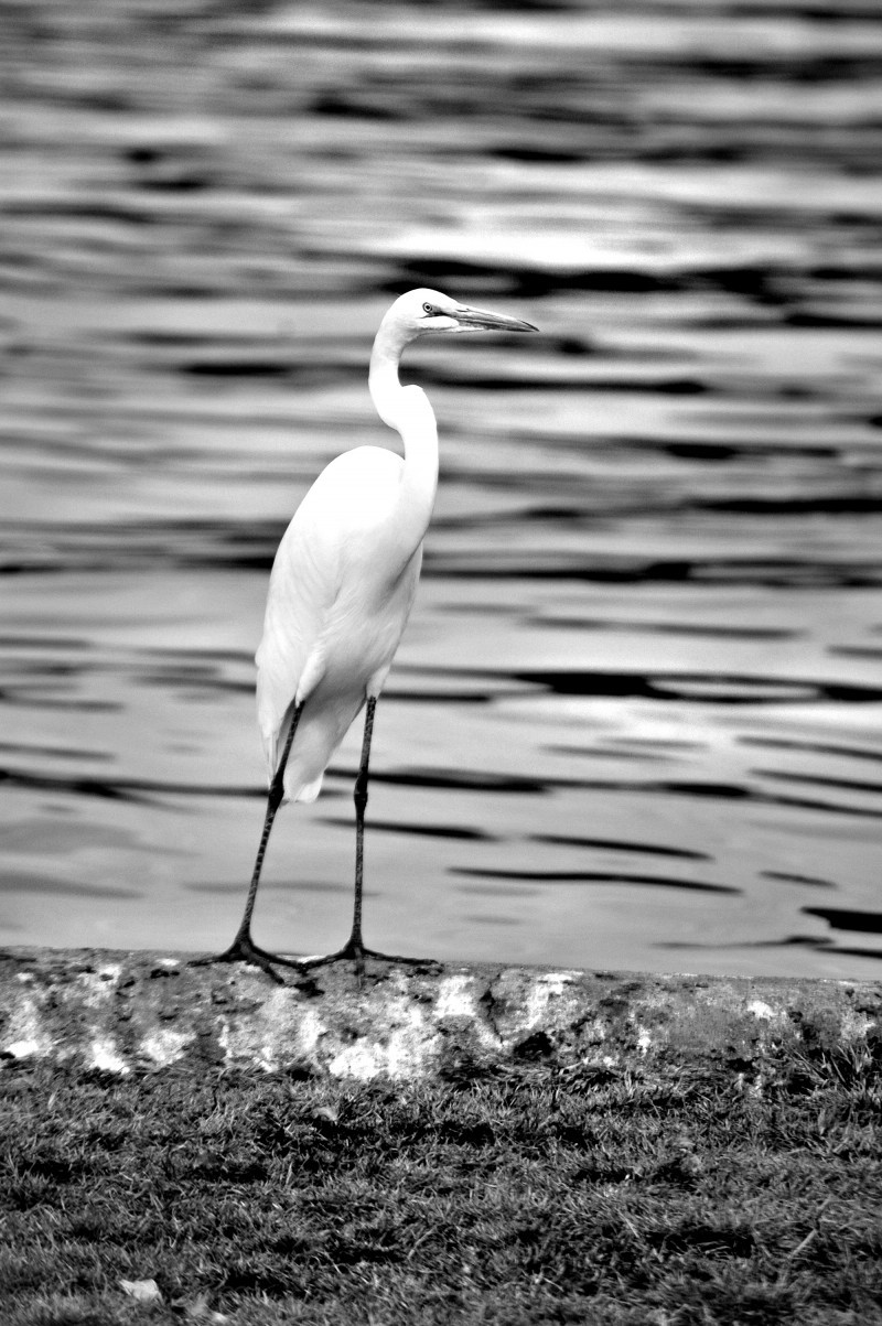 black and white heron on lake