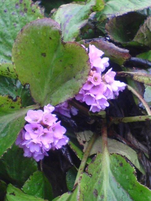 Lilac Beauty