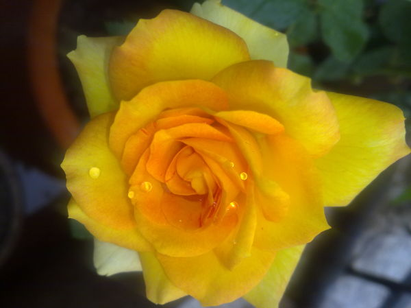Dewy Yellow Rose