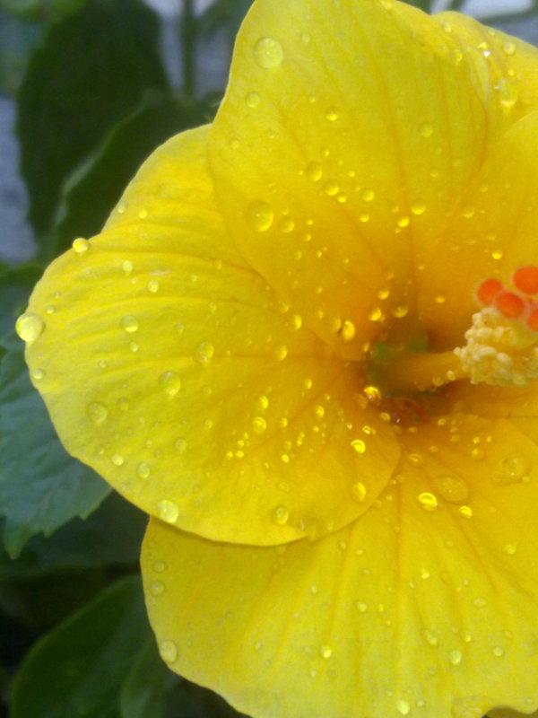 yellow hibiscus