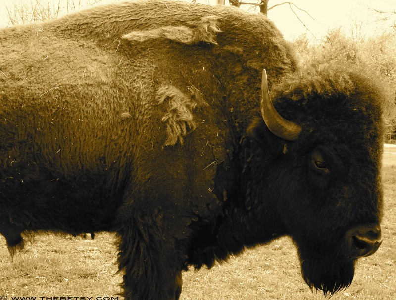 buffalo bison farm pennsylvania www.thebetsy.com